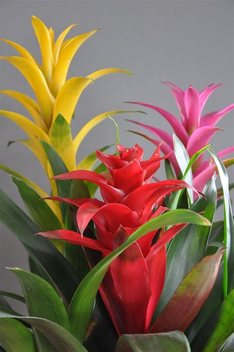 Tropical Plant Care - bromeliads indoor flower