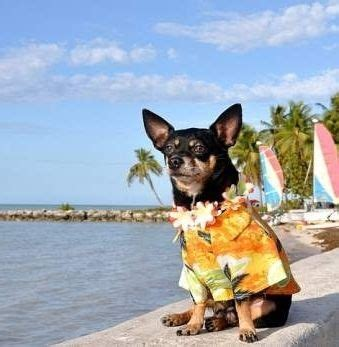 how to take care of a chihuahua puppy 17 best images about chihuahua dogs on el paso chihuahua dogs and let it be