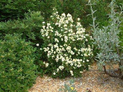 flower shrub carpenteria californica