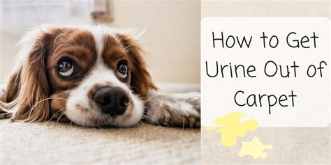 how to get urine out of carpet how to get urine smell out of carpet