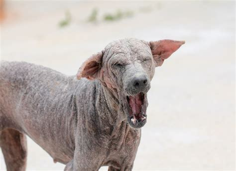 mange dogs sarcoptic mange in dogs symptoms treatment petmd