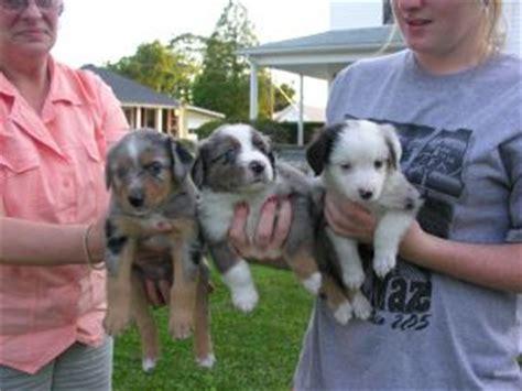 miniature australian shepherd puppies for sale cheap miniature australian shepherd puppies for sale