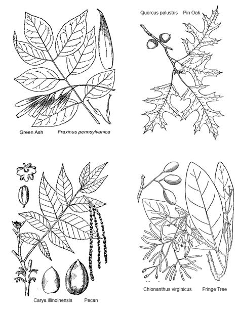 leaf identification coloring pages tree id key and coloring pages