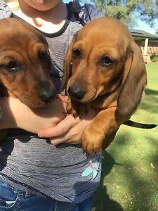 dachshund dogs puppies gumtree australia  local