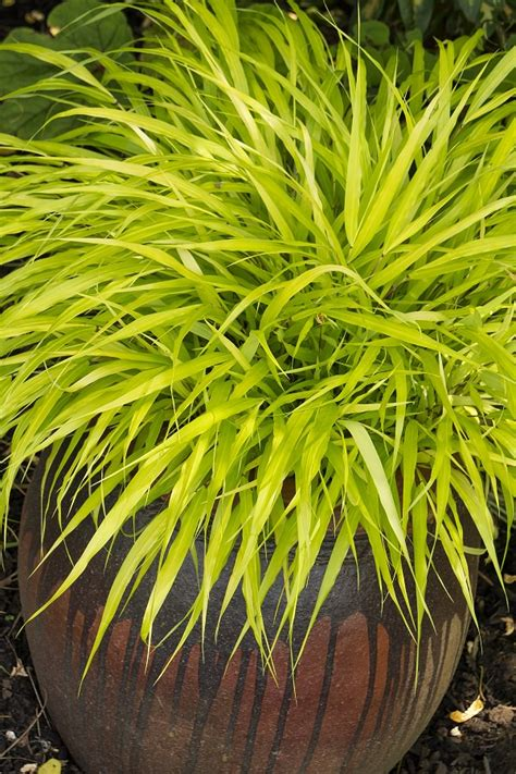 8 best ornamental grasses for containers