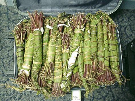 ufficio dogane pisa droga sequestro 16 kg khat ad aeroporto firenze 50 canale