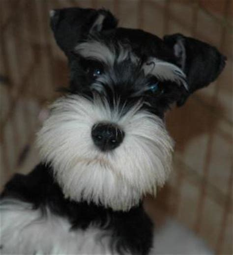 all about puppies ta fl mini schnauzer puppies ta florida 4k wallpapers