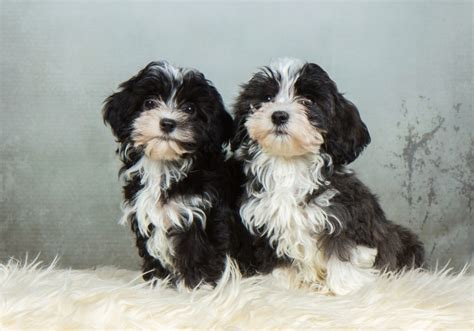 havanese breed characteristics havanese breed information buying advice photos and facts pets4homes