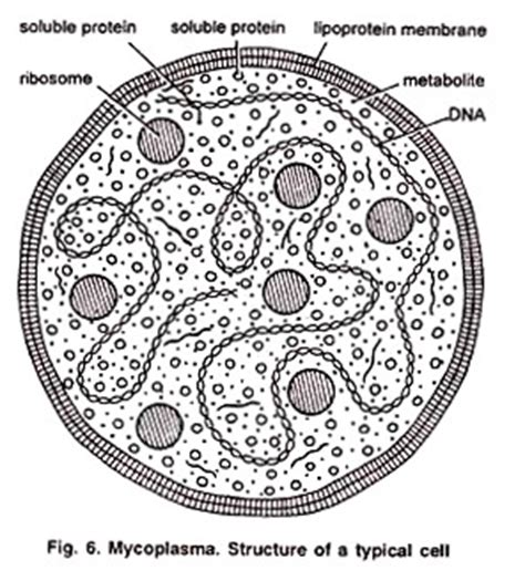 mycoplasma: history, habitat, characters and cell structure