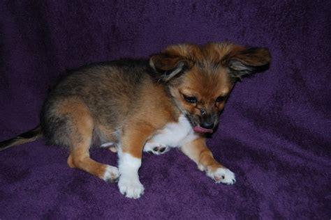 tibetan terrier pomeranian mix 1000 images about tibetan spaniel mixed on adoption poodles and miniature