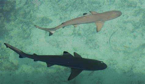 baby shark unlimited two baby shark in the sea stock photos image 30593693