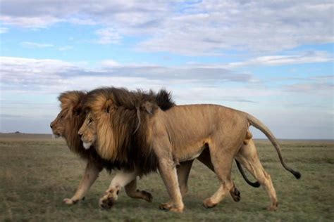 imágenes de leones juntos leones caminando juntos 33707