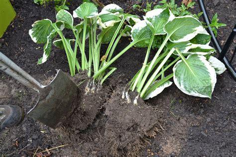 Pflanze Gegen Maulw Rfe 2045 by Pflanze Gegen Maulwurf Euphorbia Lathyris Une Plante Anti