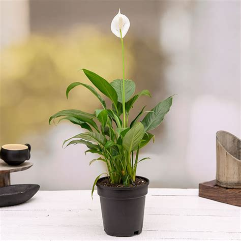 buy peace lily spathiphyllum plant