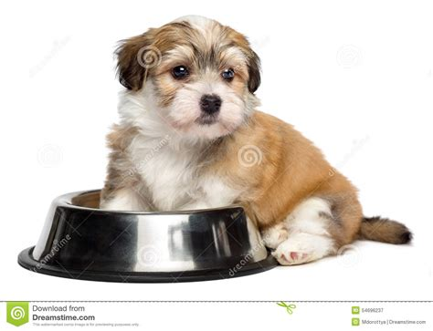 hungry puppy hungry havanese puppy is sitting next to a metal food bowl stock photo image