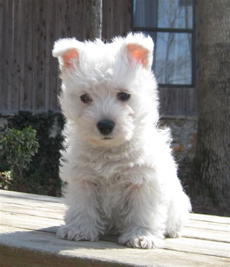 west highland puppies for sale in arkansas this westie puppy are a distraction so beautiful http dogculture net