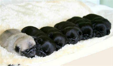 pug chocolate milk chocolate pugs pugs the o jays babies and chocolate