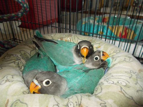 For Lovebird buy lovebirds royal wings aviaryroyal wings aviary