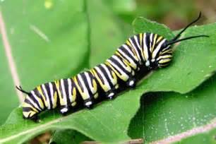 butterfly caterpillars butterfly caterpillar hatching