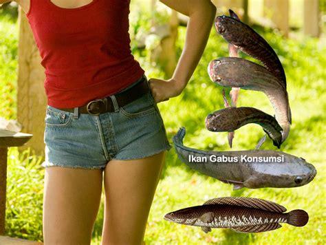 Ikan Gabus Alam khasiat konsumsi ikan gabus
