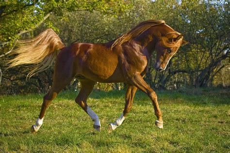 Pil Kb Pura Femme koń prezentacja