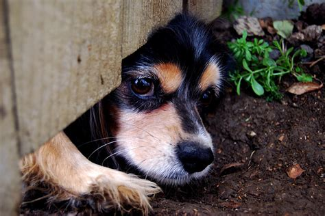why do dogs run away why do dogs run away from home tips to prevent it