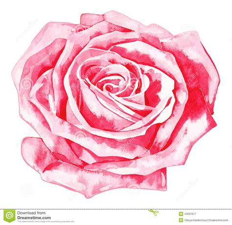 pink drawing romantic watercolor rose stock vector illustration of