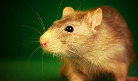 best ways on how to get rid of rats in yard petsepark com