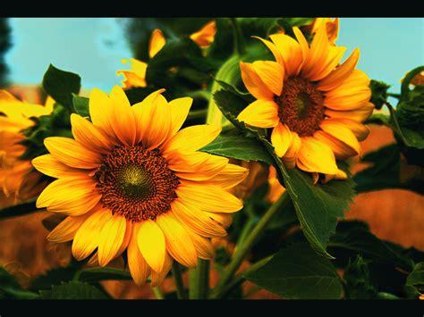 wallpaper bunga dan kupu2 wallpaper foto dan gambar bunga cantik untuk laptop