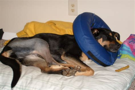 tta surgery for dogs tta surgery for dogs from surgery to 1 year post op knee injury