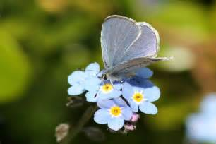Forget Me Not Flowers Tattoos - forget me not flower meaning flower meaning