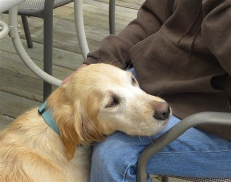 looking for a golden retriever puppy to adopt looking for golden retriever to adopt dogs our friends