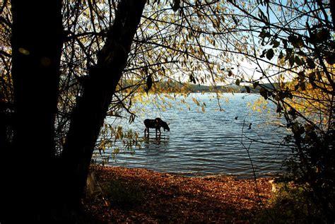 hauser idaho hauser id bull moose in hauser lake hauser