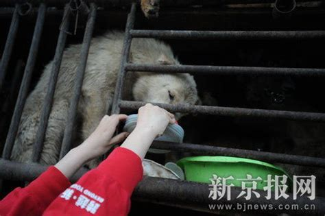 Cincau Tawon Mikro 520 dogs intended for slaughter freed in china thanks to