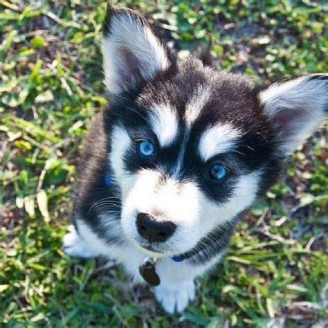 goberian puppy goberian puppy golden retriever and siberian husky mix so