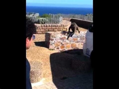 baboons attack cape of baboon attack cape point south africa orny