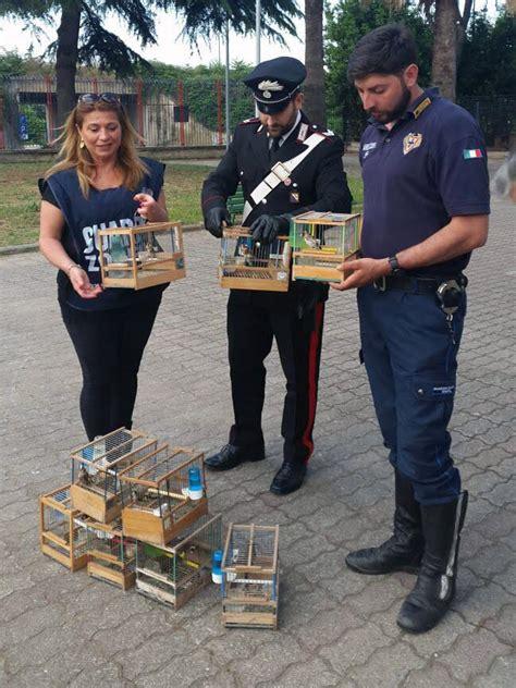cardellini in gabbia cardellini catturati e messi in gabbia li hanno trovati i