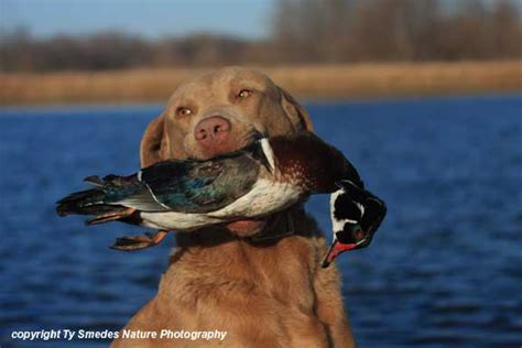 Chesapeake Bay Retriever with Wood Duck Drake