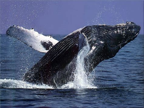 when is whale season in cape cod jonah and the whale clergy family confidential