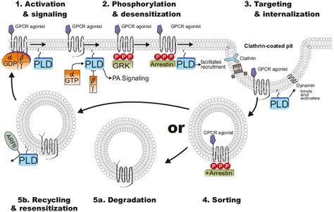 g protein coupled receptors function membranes free text of phospholipase d in g