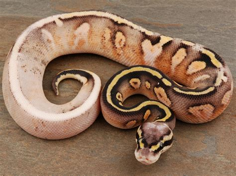 reduced pattern pastel ball python super pastel calico