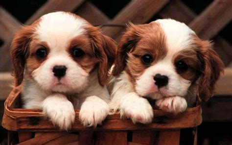 wallpaper for desktop puppies desktop wallpapers puppies desktop wallpapers