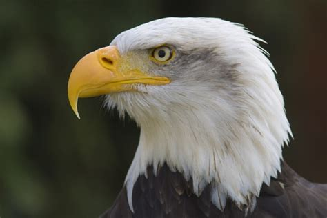 the number of bald eagles increases is no longer on the