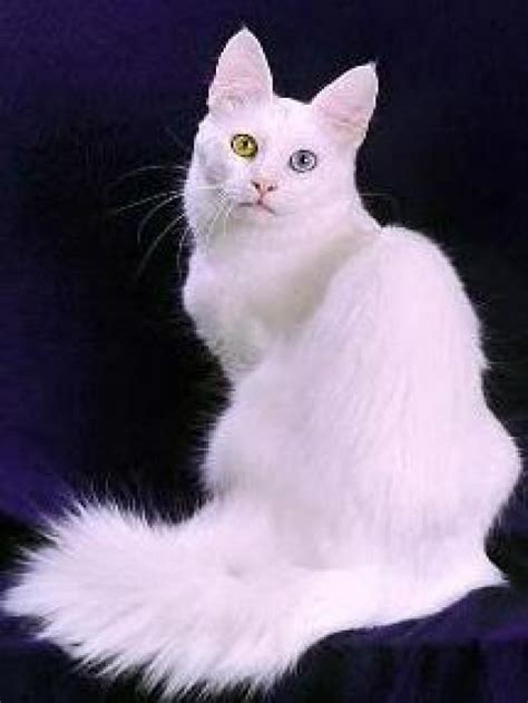 white cat with odd eyes 40 most adorable turkish angora cat pictures and images