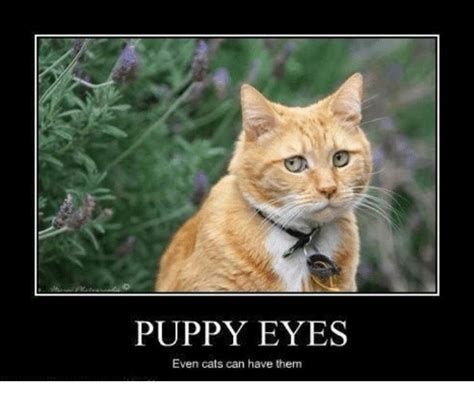 Puppy Dog Eyes Meme - puppy eyes even cats can have them grumpy cat meme on me me