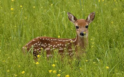 deer deer wallpapers deer hd wallpapers deer