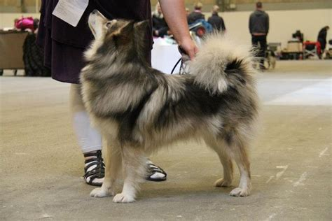 pomeranian grown size 17 best ideas about pomeranian husky grown on