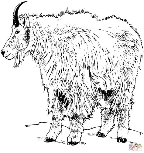 pygmy goat coloring page pygmy goats coloring page coloring home