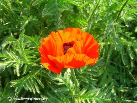 poppy pictures free poppy photos