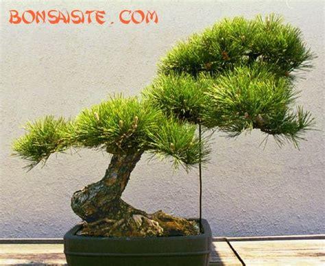Bor Bonsai bonsai